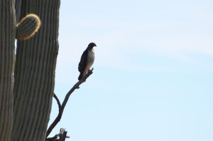 Perching Red-tailed hawk, side view