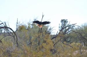 Red-tailed hawk landing in tree