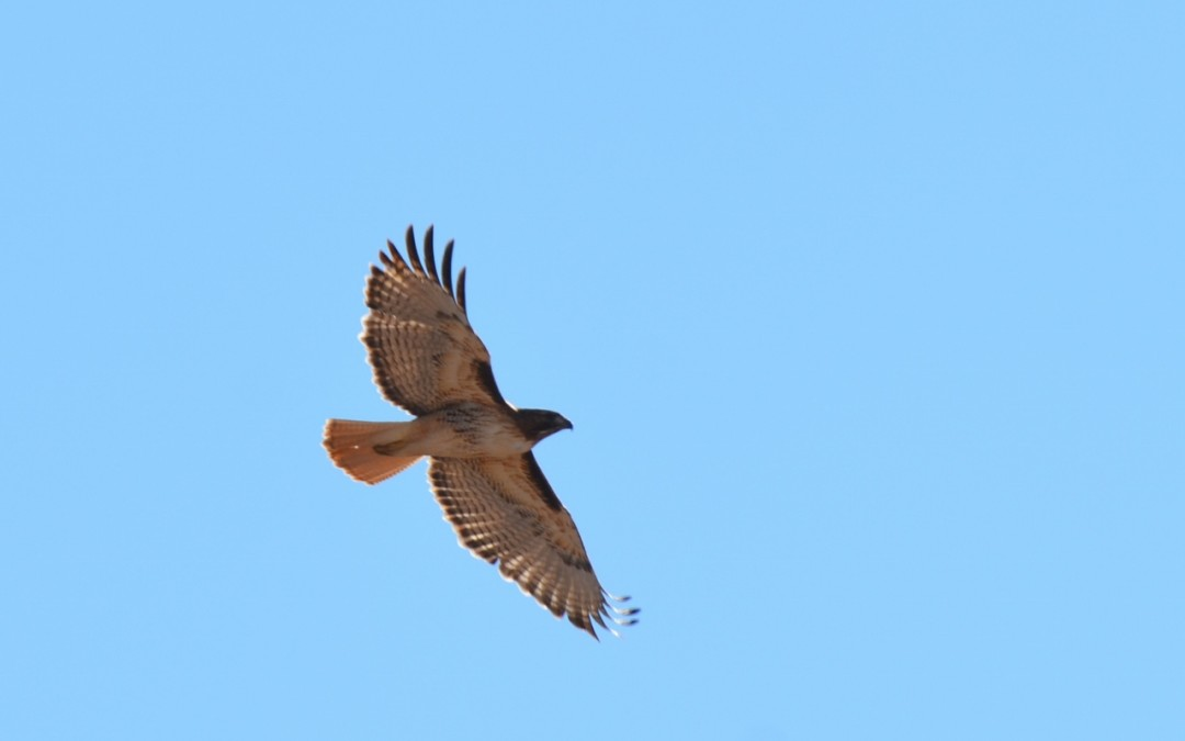 Red-tailed hawk in the Sonoran desert