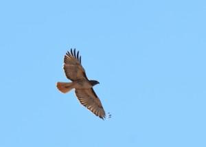 Red-tailed hawk in the sky