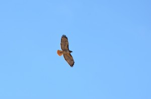 A flying Red-tailed hawk is seen from below against a clear blue sky